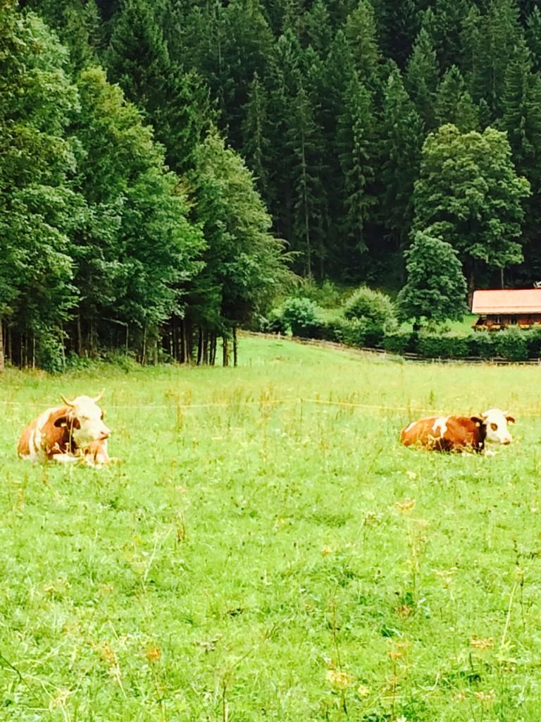cows in bavarian field