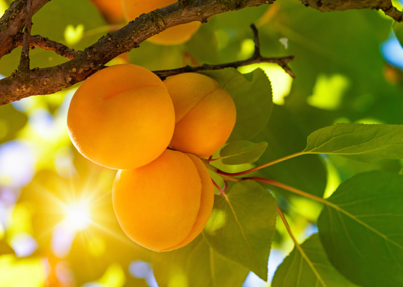 apricots-on-tree-balance-your-gut-by-healthista.com