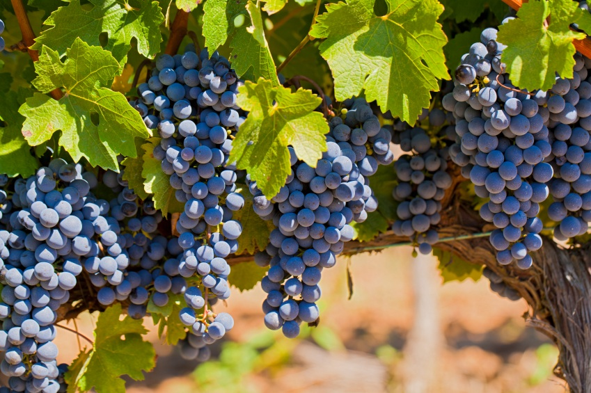 grapes in vineyard, organic wine, by healthista.com