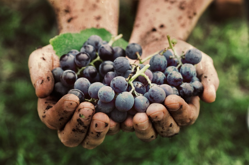 Grapes in mud, 5 reasons to try organic wine, by healthista.com