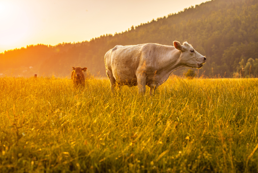 Cows in field at sunset, Should I eat meat by healthista.com