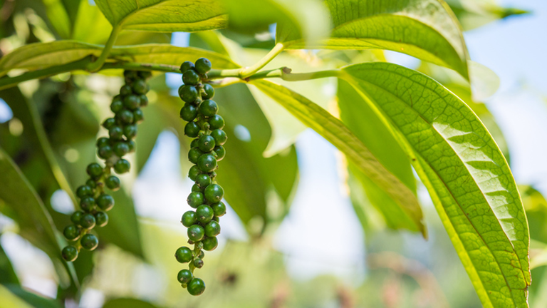 black pepper fruit, superfoods for weight loss by healthista.com