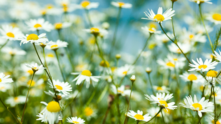 camomile, 11 superfoods for sleep that can wake you up feeling fresher after a healthy nights sleepby healthista.com
