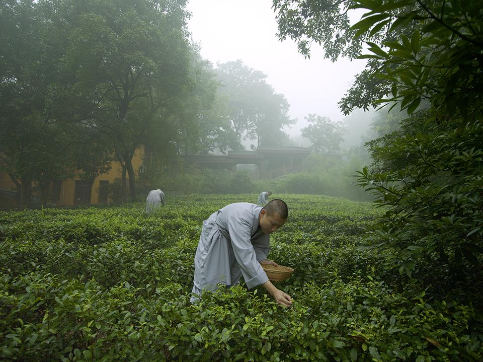 tea picking, Amafayun resort Hongzhou China spa of the week by healthista