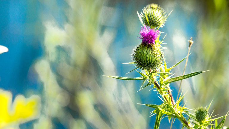 thistle-flower,-30-weight-loss-tips-in-30-days---#26-milk-thistle-by-healthista.com
