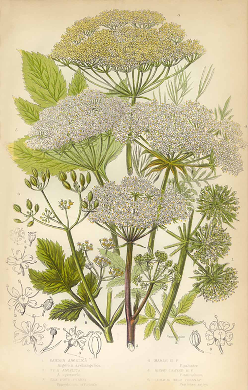 angelica-herbs-for-health