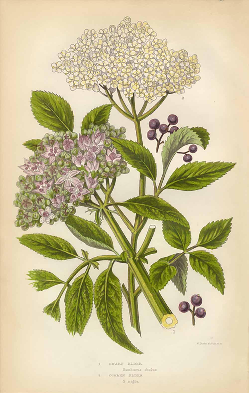elderberry-herbs-for-health