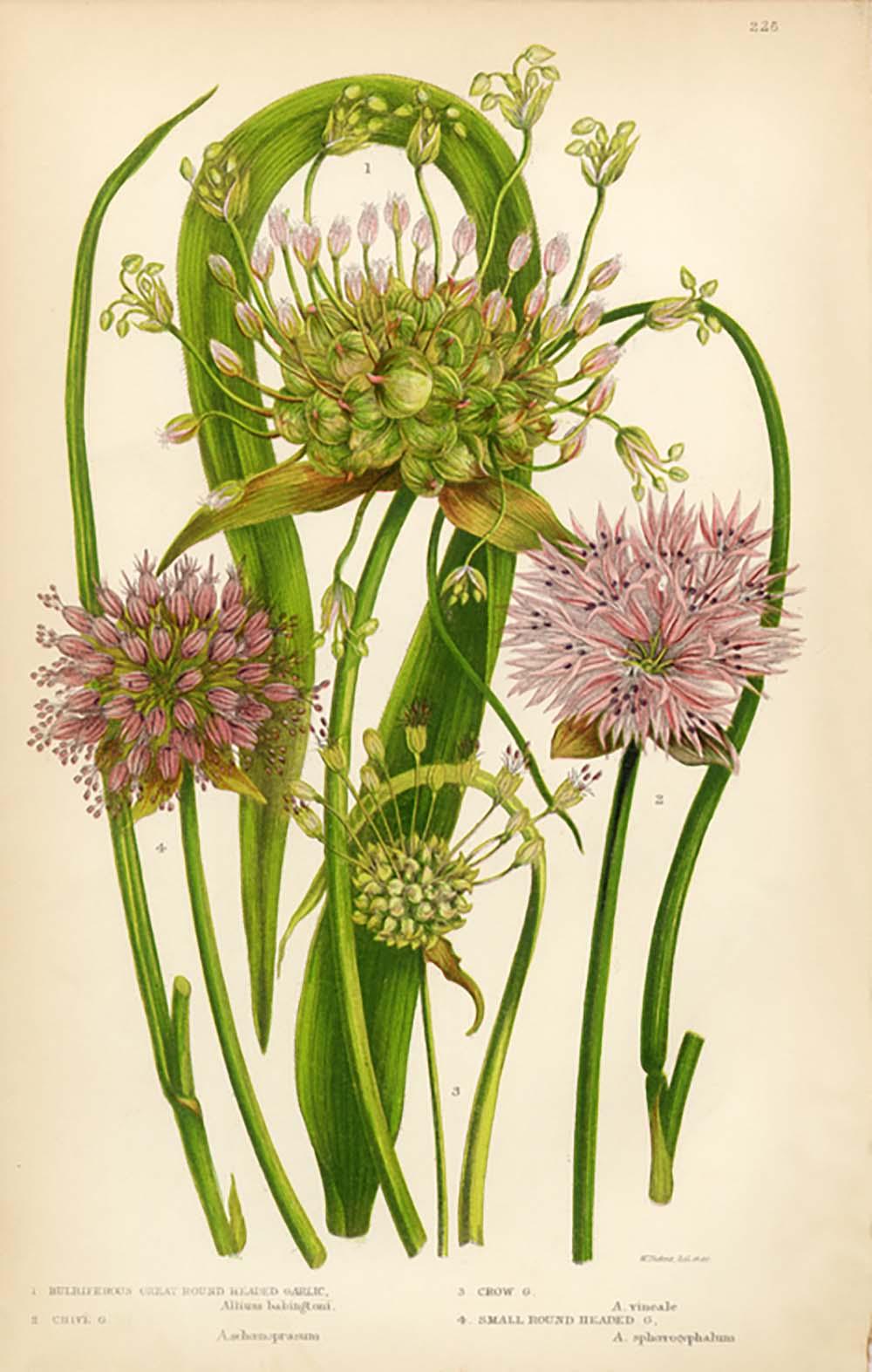 herbs-to-help-your-health-garlic