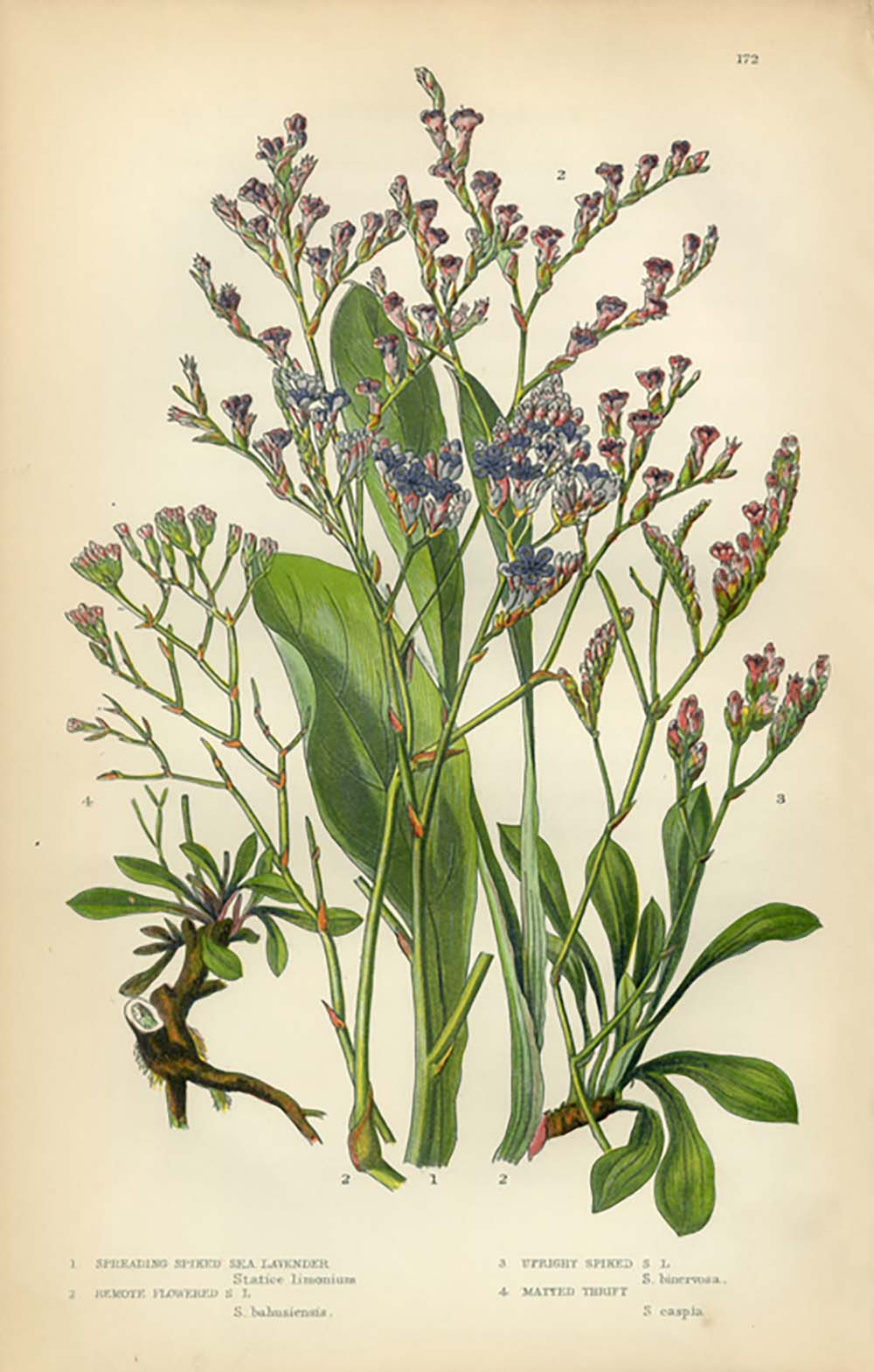herbs-to-help-your-health-lavender