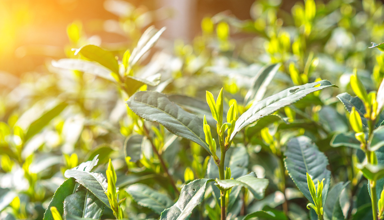 best tasting green teas, embedded