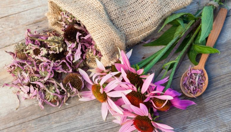 Can echinacea really prevent a cold?